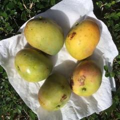Fresh rose mangoes_ElizabethHelen